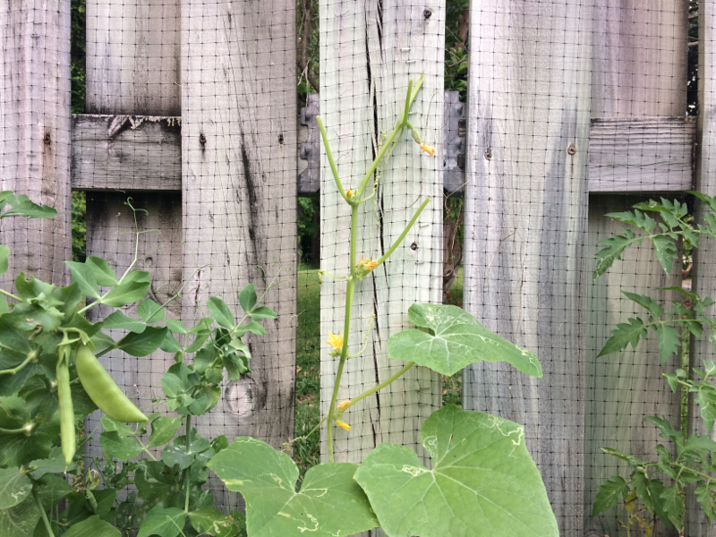 cucumber critter leaves
