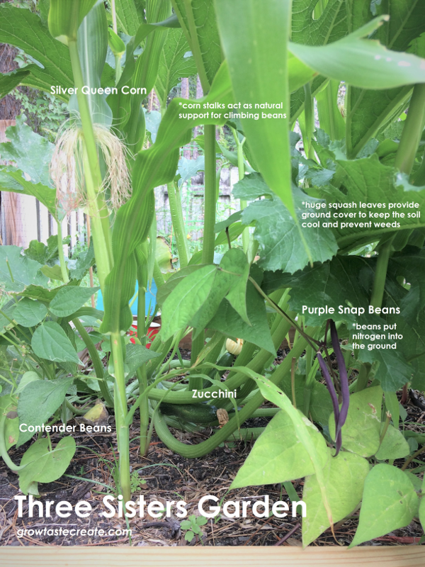 three sisters garden companion planting corn squash beans